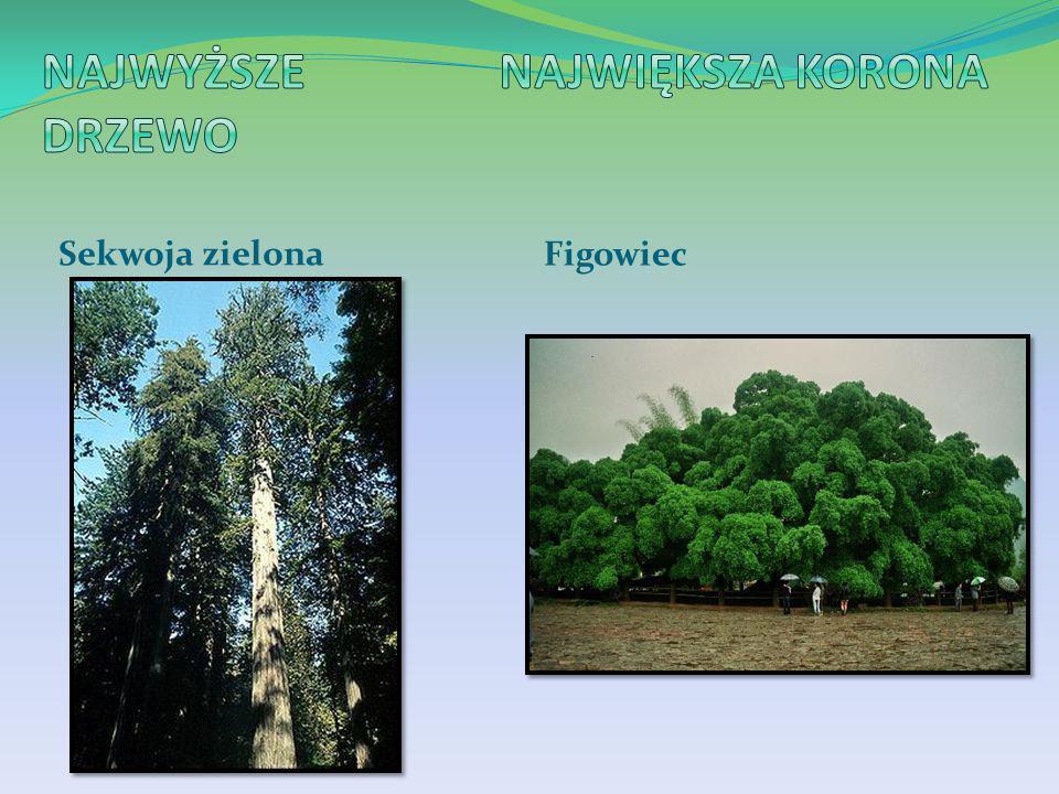 Najwyższe drzewo Największa korona Sekwoja zielona Figowiec