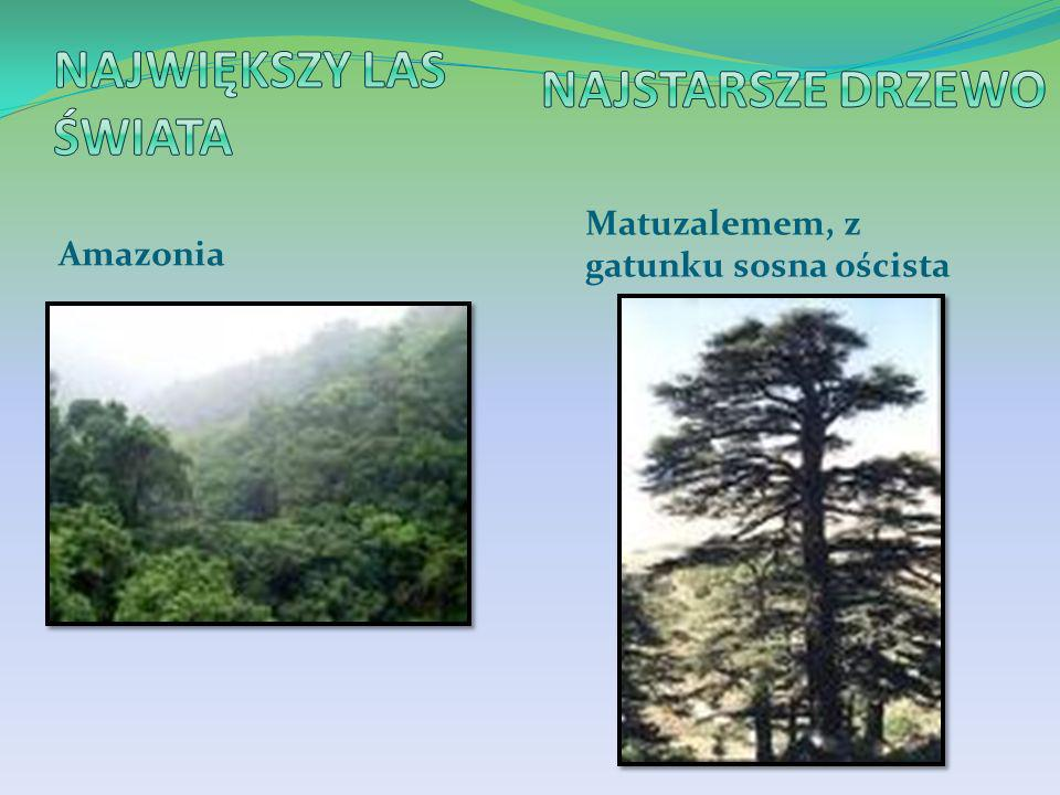 Największy las świata Najstarsze drzewo