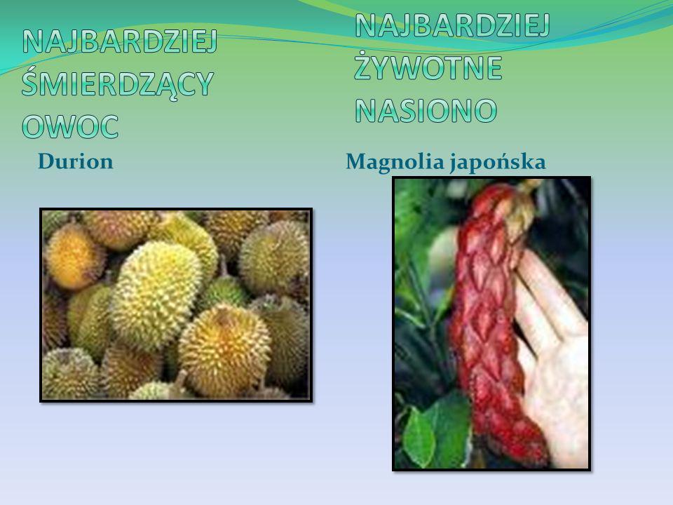 Najbardziej śmierdzący owoc