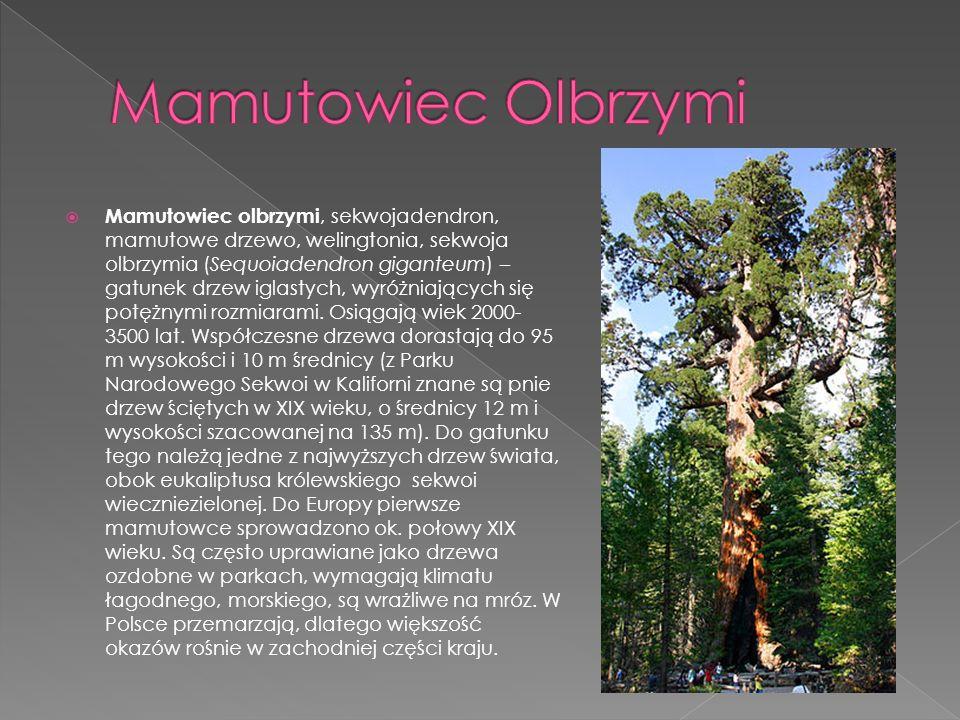 Mamutowiec Olbrzymi