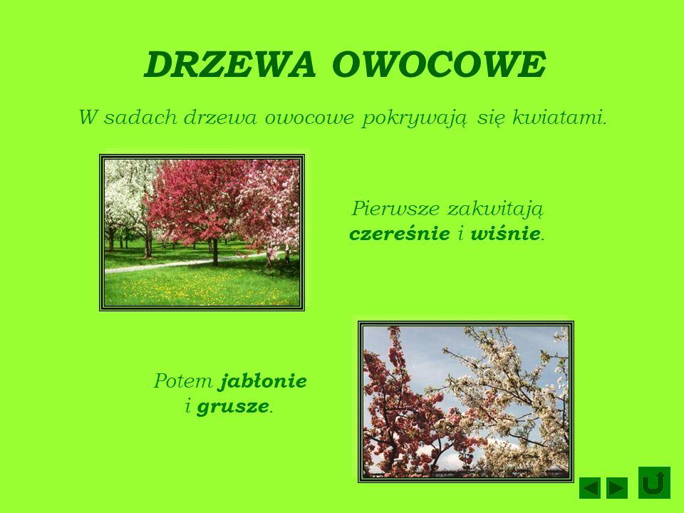 DRZEWA OWOCOWE W sadach drzewa owocowe pokrywają się kwiatami.