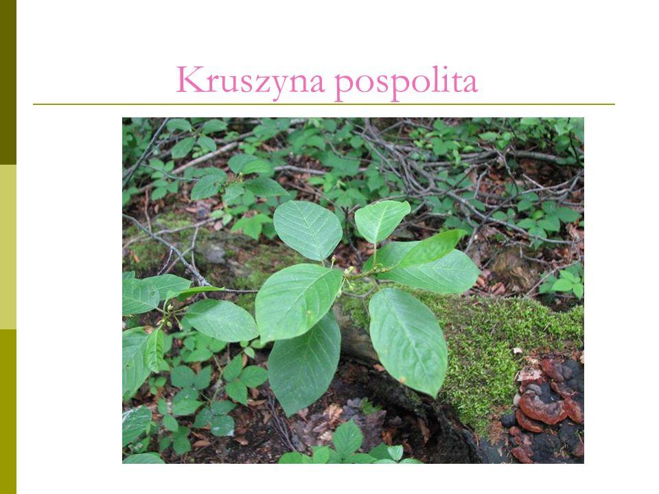 Kruszyna pospolita