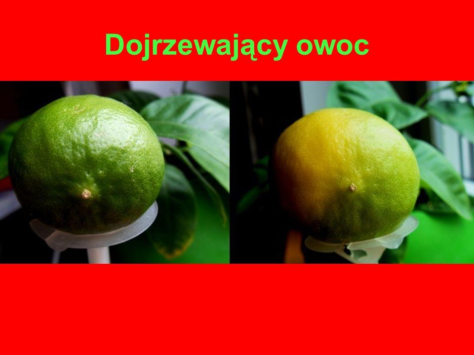 Dojrzewający owoc