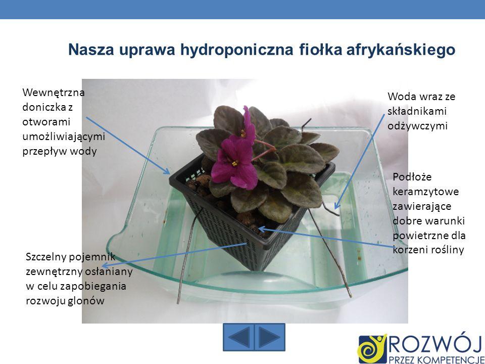 Nasza uprawa hydroponiczna fiołka afrykańskiego