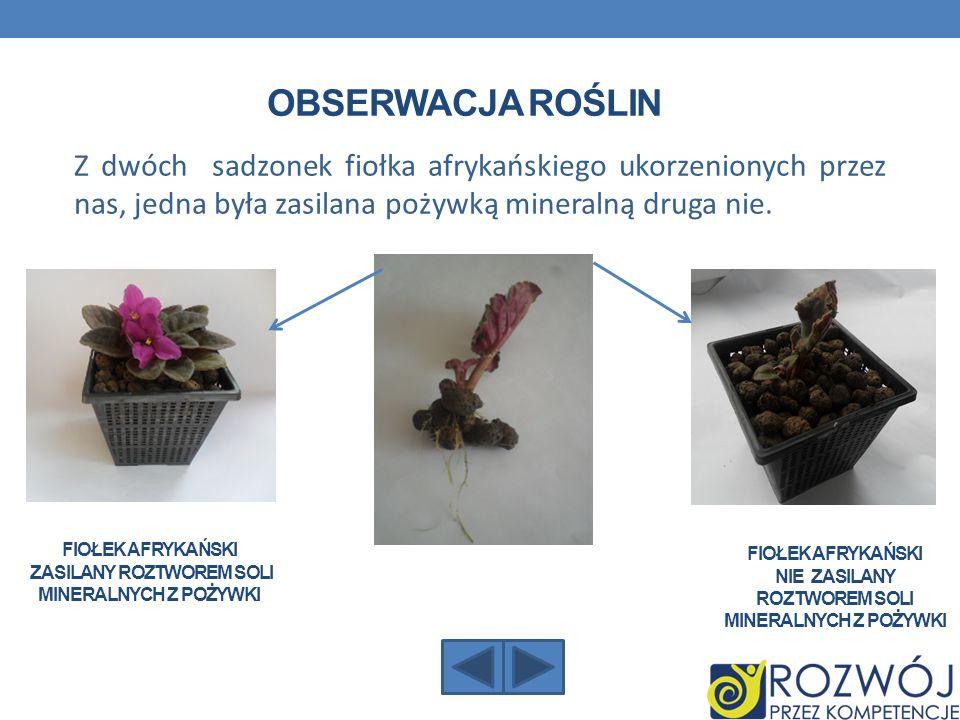 Obserwacja roślin Z dwóch sadzonek fiołka afrykańskiego ukorzenionych przez nas, jedna była zasilana pożywką mineralną druga nie.