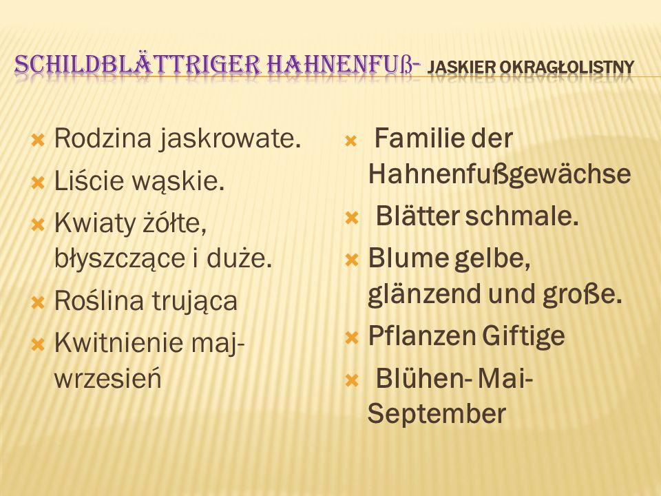 Schildblättriger Hahnenfuß- jaskier okragłolistny