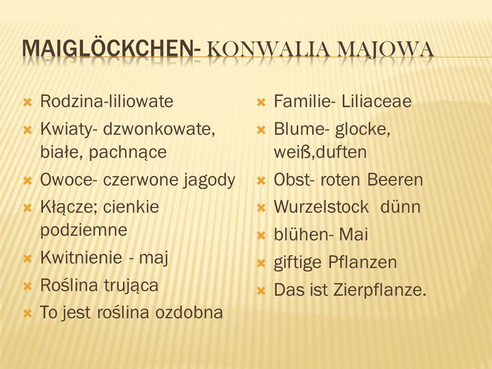 Maiglöckchen- Konwalia Majowa