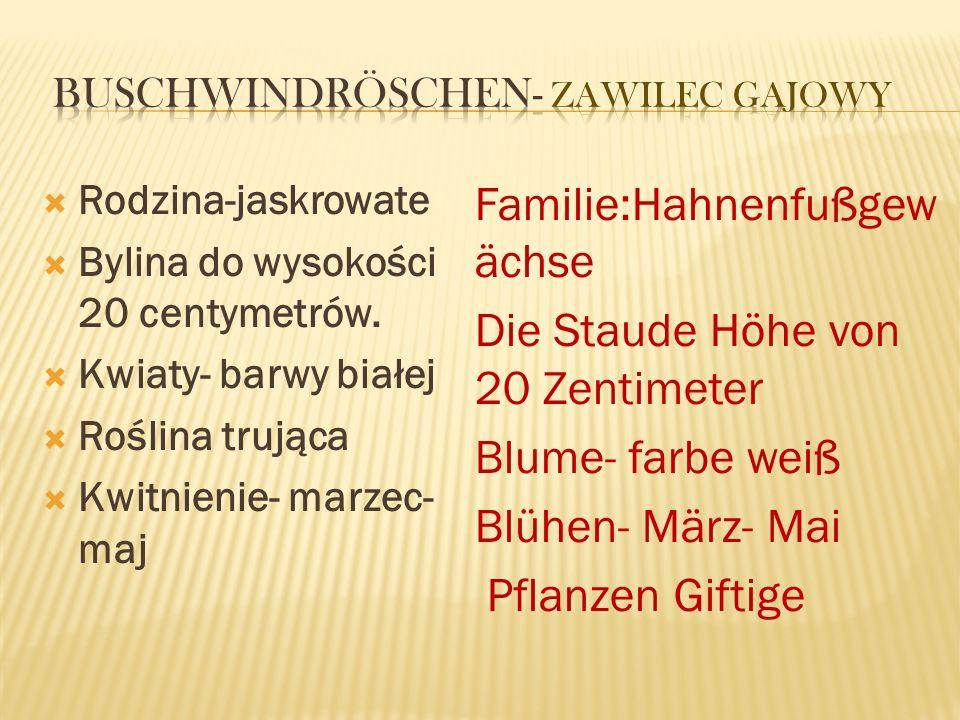 Buschwindröschen- zawilec gajowy