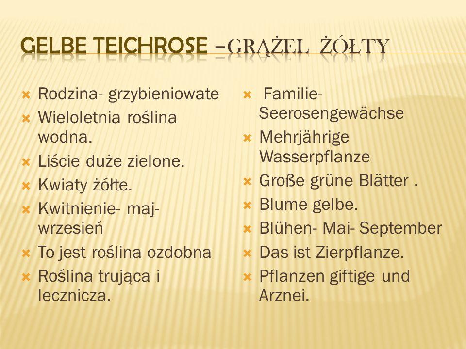 Gelbe Teichrose –grążel żółty