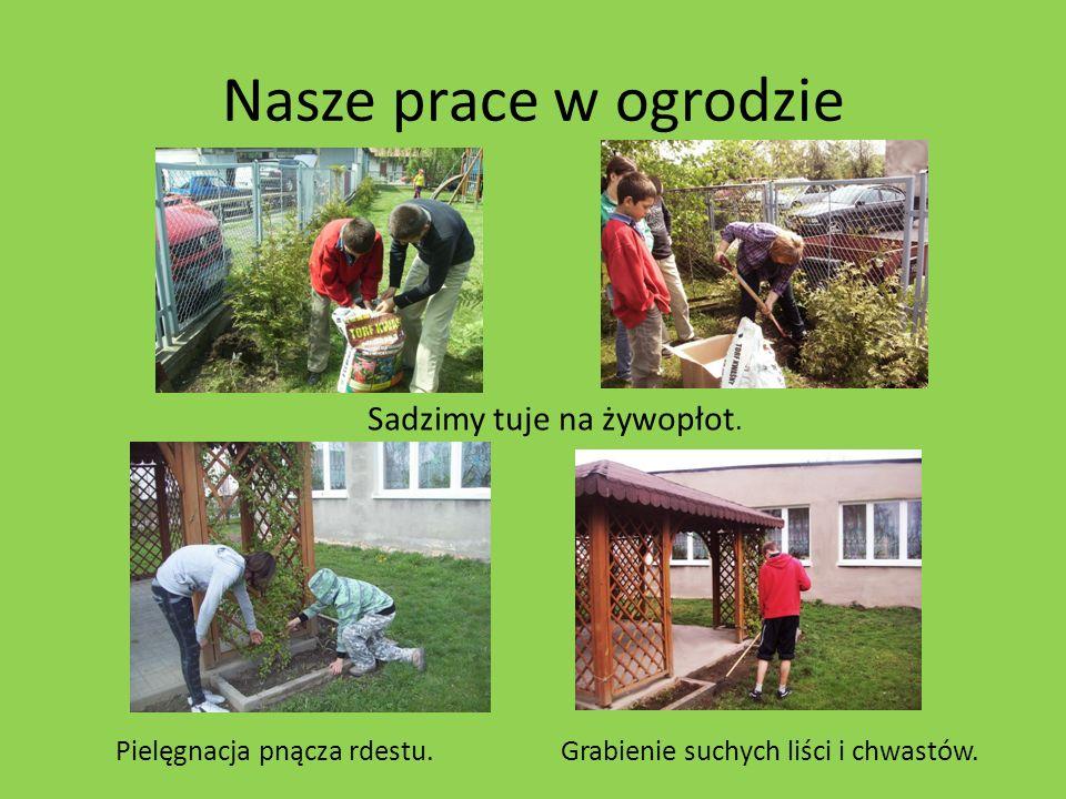 Nasze prace w ogrodzie Sadzimy tuje na żywopłot.