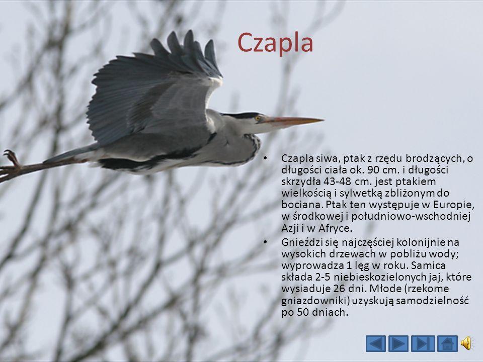 Czapla