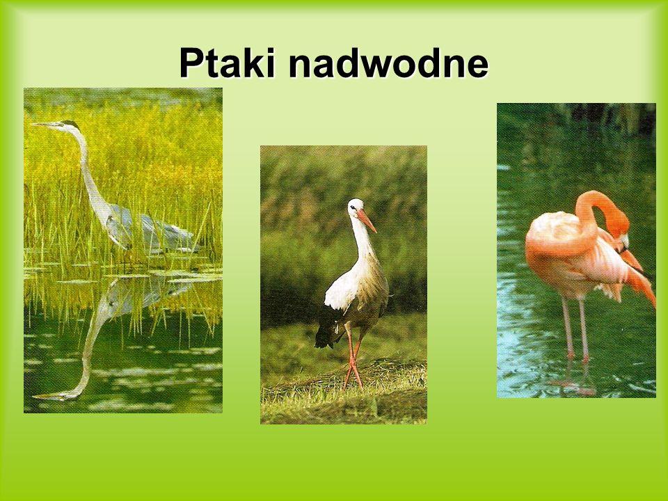 Ptaki nadwodne
