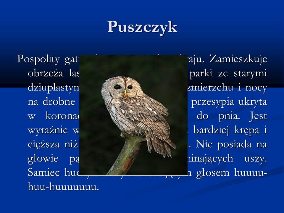 Puszczyk