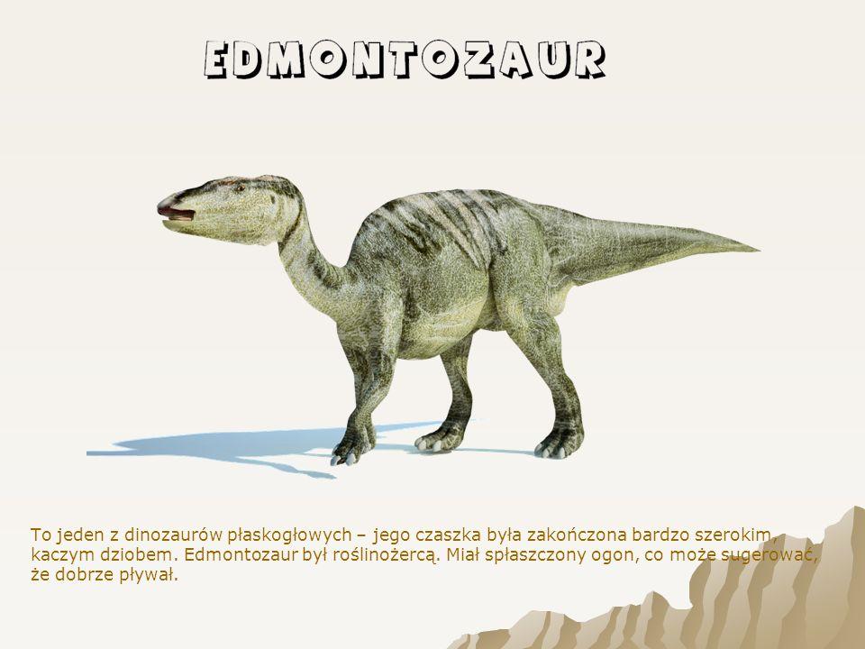 To jeden z dinozaurów płaskogłowych – jego czaszka była zakończona bardzo szerokim, kaczym dziobem.