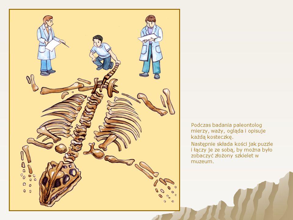 Podczas badania paleontolog mierzy, waży, ogląda i opisuje każdą kosteczkę.