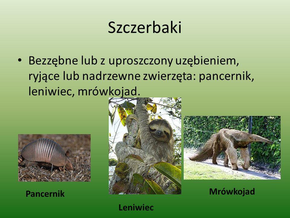 Szczerbaki Bezzębne lub z uproszczony uzębieniem, ryjące lub nadrzewne zwierzęta: pancernik, leniwiec, mrówkojad.