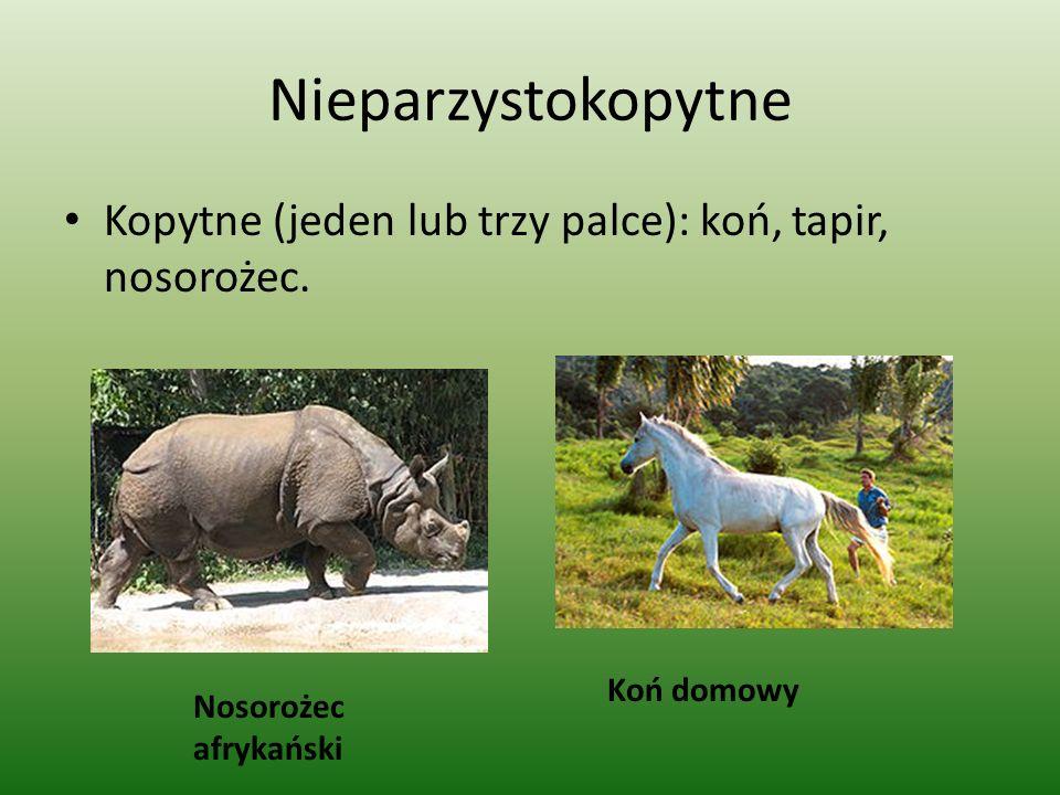 Nieparzystokopytne Kopytne (jeden lub trzy palce): koń, tapir, nosorożec.
