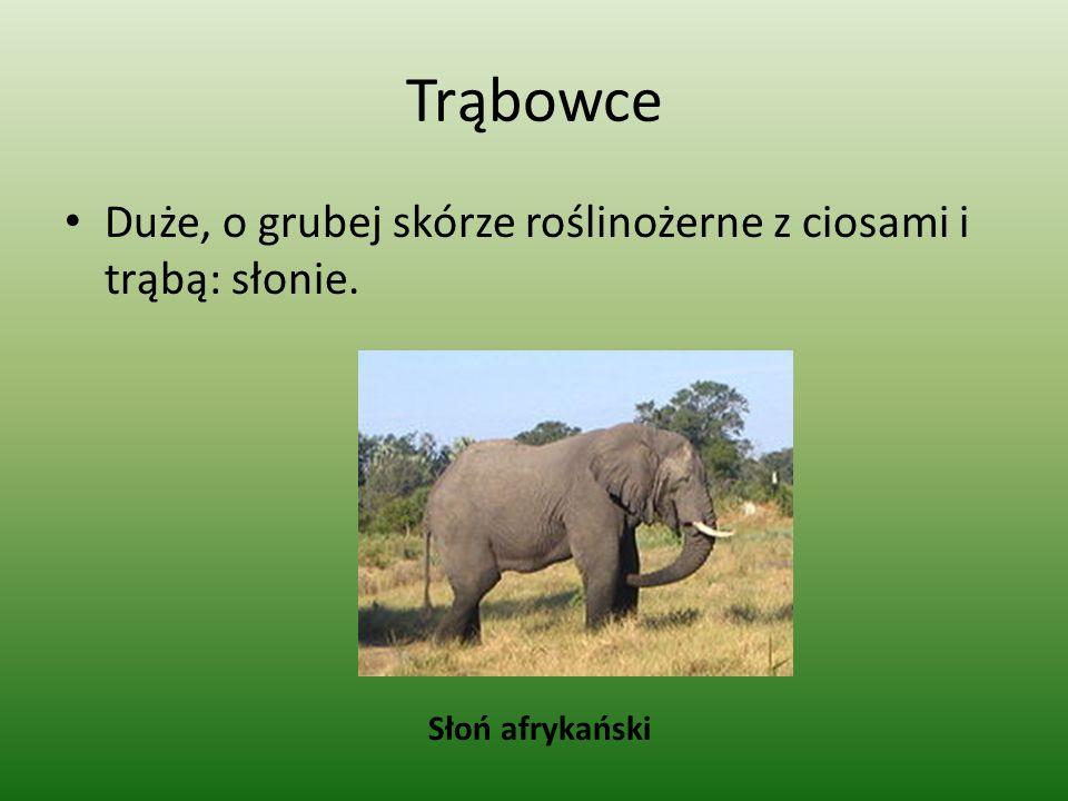 Trąbowce Duże, o grubej skórze roślinożerne z ciosami i trąbą: słonie.