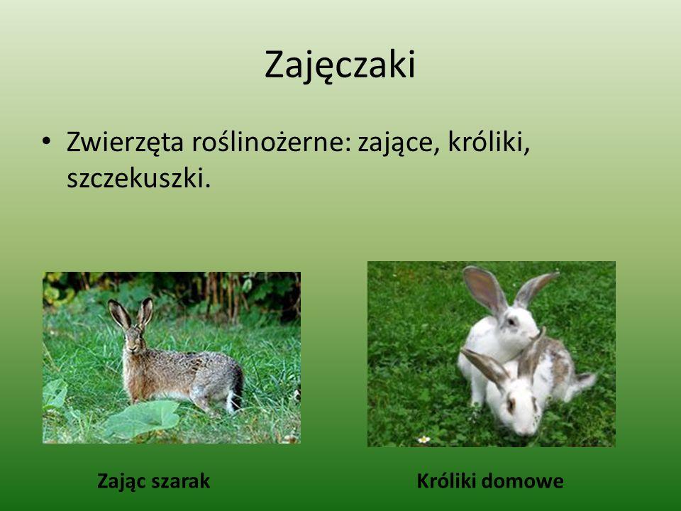 Zajęczaki Zwierzęta roślinożerne: zające, króliki, szczekuszki.