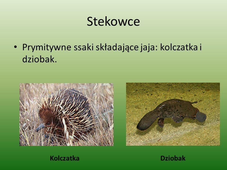 Stekowce Prymitywne ssaki składające jaja: kolczatka i dziobak.