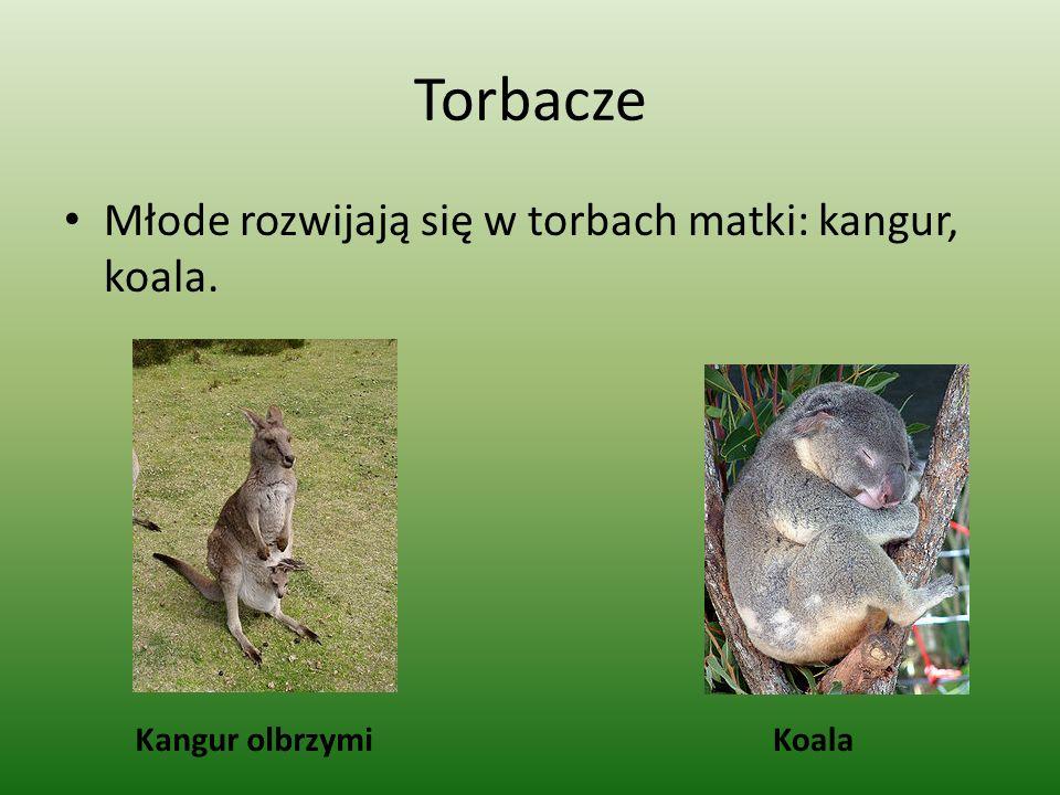 Torbacze Młode rozwijają się w torbach matki: kangur, koala.