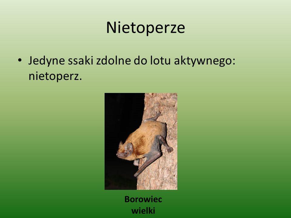 Nietoperze Jedyne ssaki zdolne do lotu aktywnego: nietoperz.