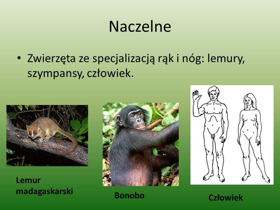 Naczelne Zwierzęta ze specjalizacją rąk i nóg: lemury, szympansy, człowiek. Lemur madagaskarski. Bonobo.