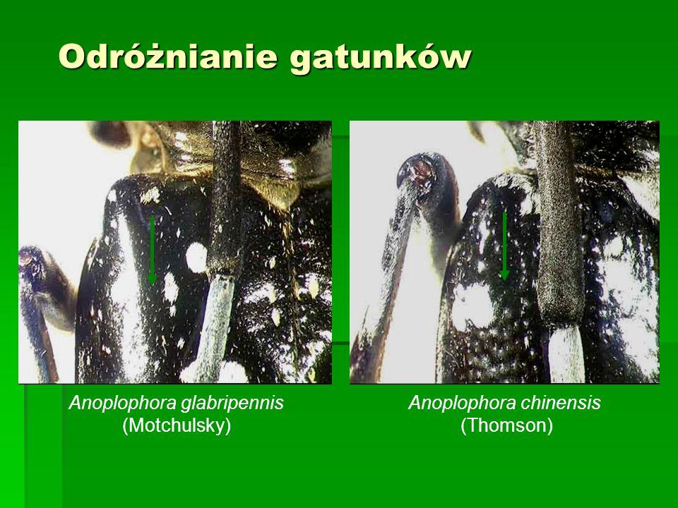 Odróżnianie gatunków Anoplophora glabripennis (Motchulsky)