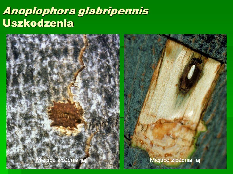 Anoplophora glabripennis Uszkodzenia
