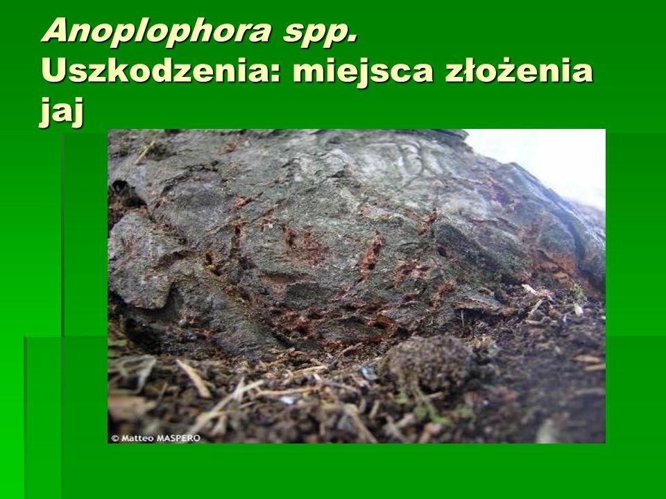 Anoplophora spp. Uszkodzenia: miejsca złożenia jaj