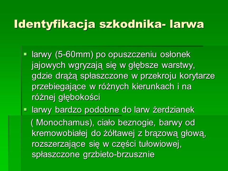 Identyfikacja szkodnika- larwa