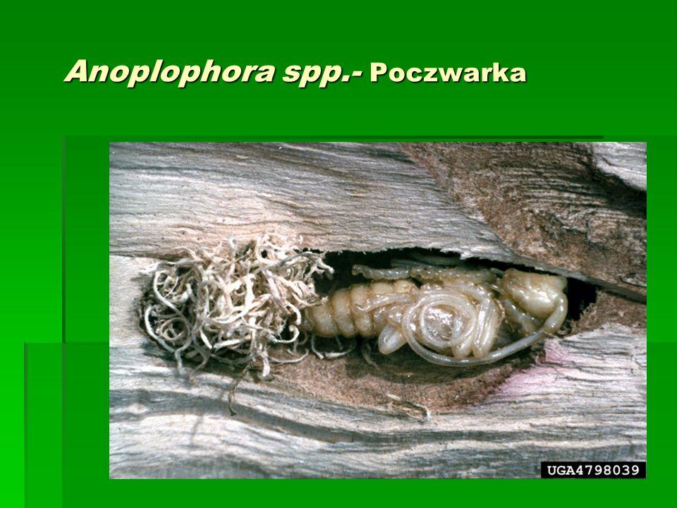 Anoplophora spp.- Poczwarka