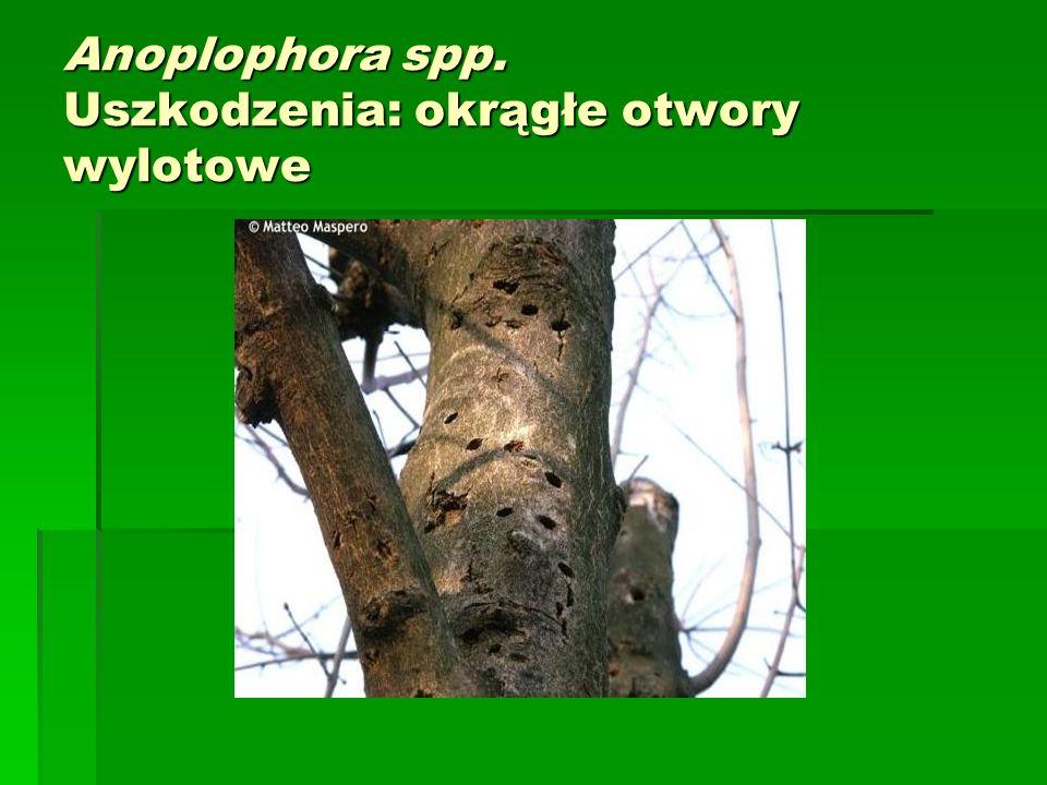 Anoplophora spp. Uszkodzenia: okrągłe otwory wylotowe