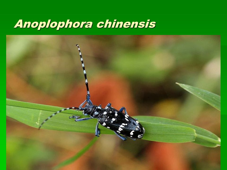 Anoplophora chinensis