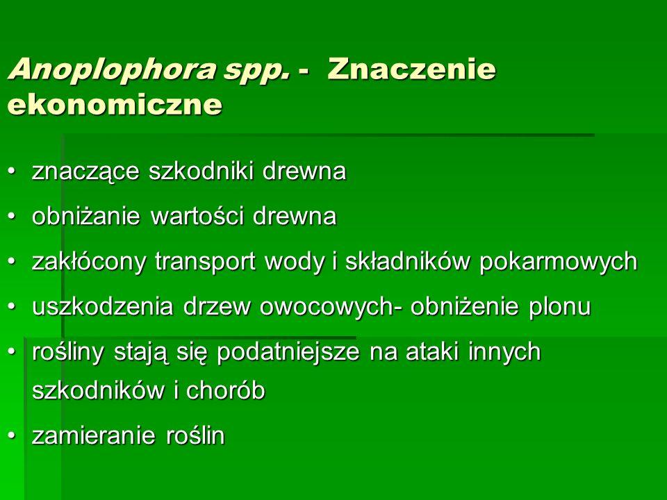 Anoplophora spp. - Znaczenie ekonomiczne