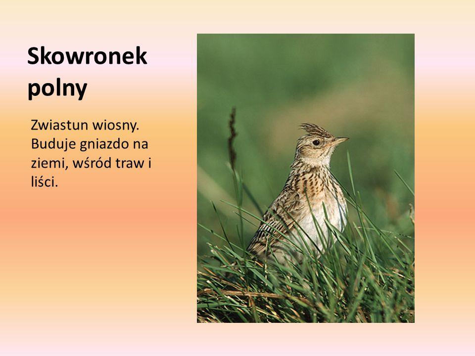Skowronek polny Zwiastun wiosny. Buduje gniazdo na ziemi, wśród traw i liści.