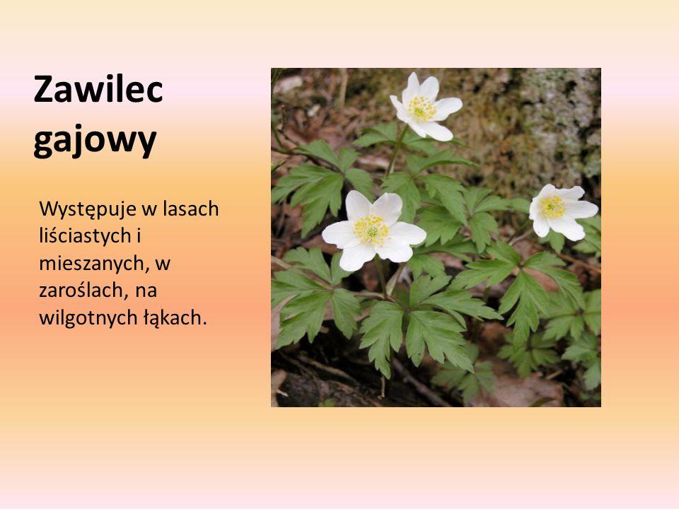 Zawilec gajowy Występuje w lasach liściastych i mieszanych, w zaroślach, na wilgotnych łąkach.