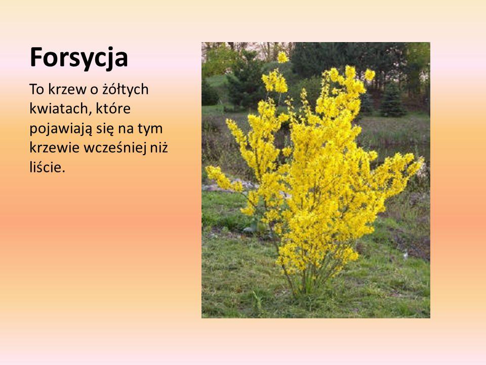 Forsycja To krzew o żółtych kwiatach, które pojawiają się na tym krzewie wcześniej niż liście.