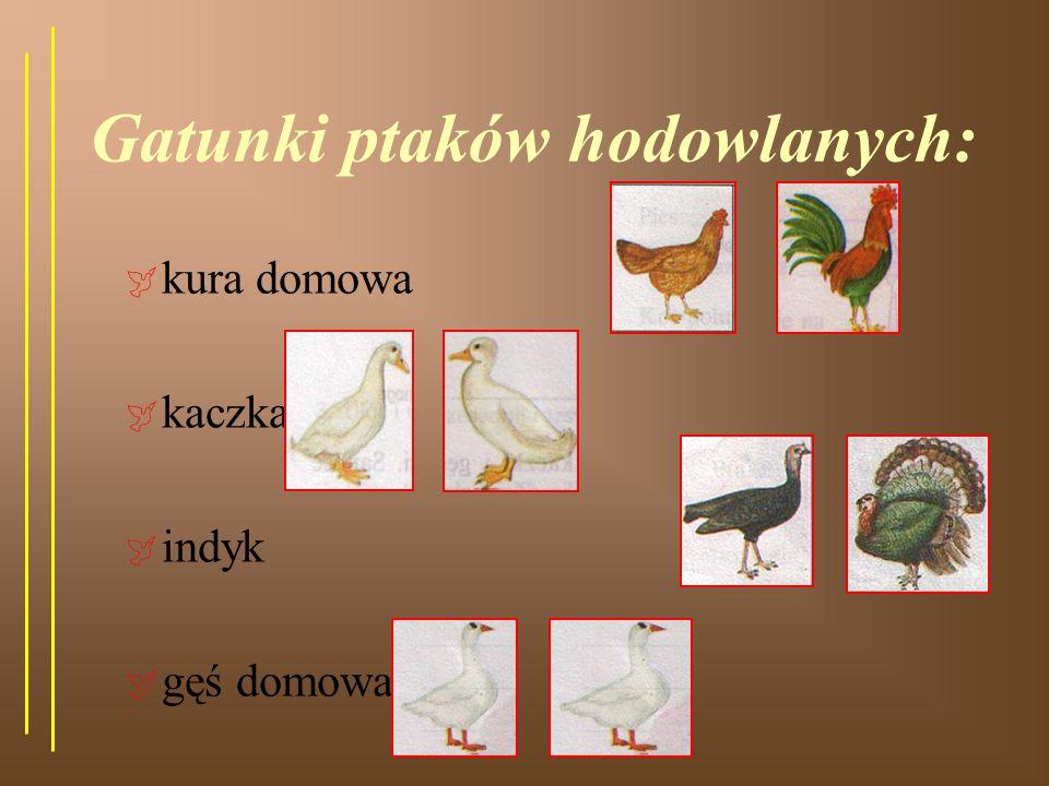 Gatunki ptaków hodowlanych: