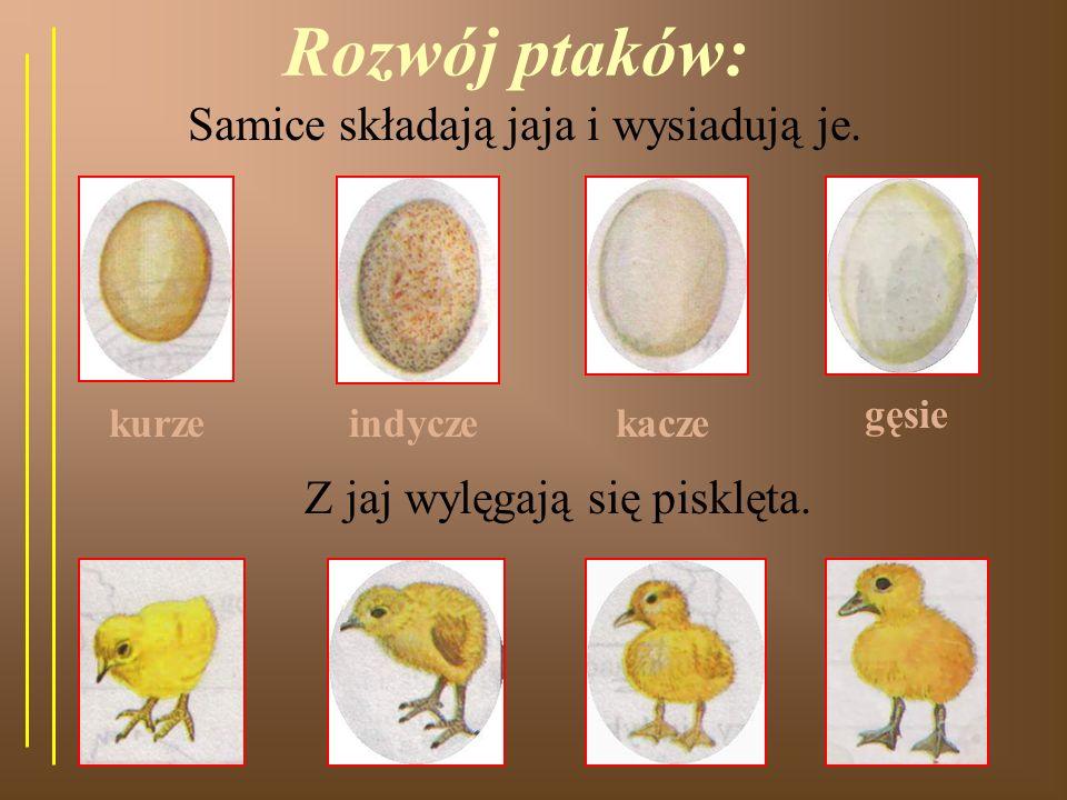 Samice składają jaja i wysiadują je.