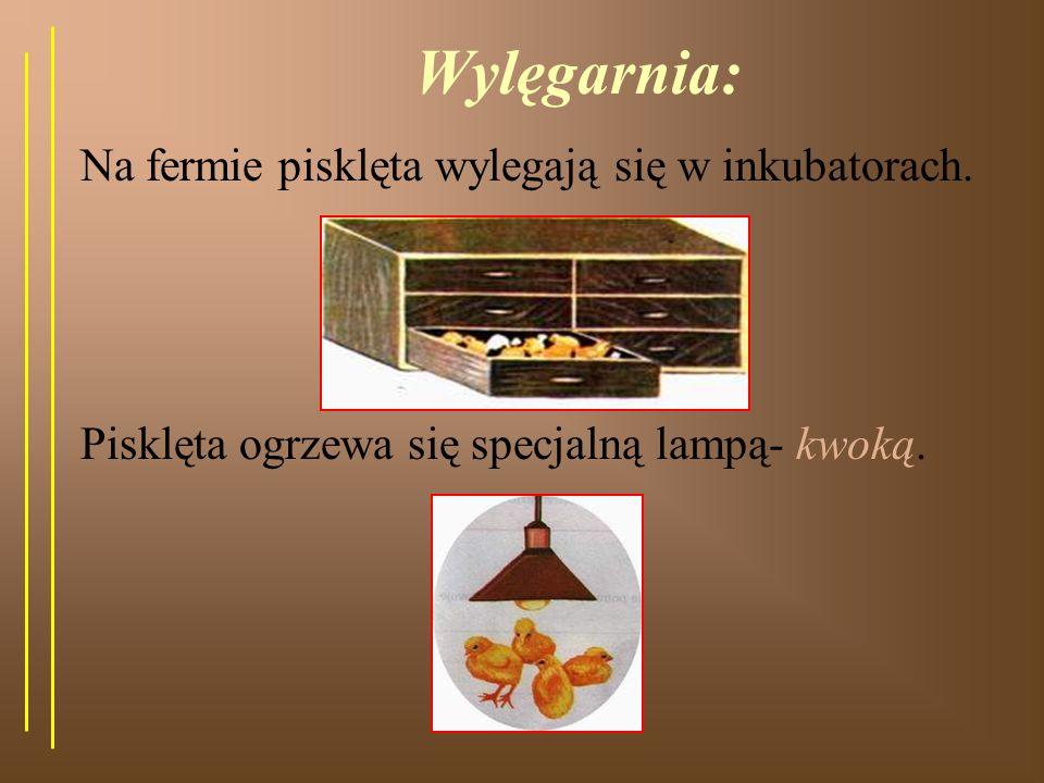 Wylęgarnia: Na fermie pisklęta wylegają się w inkubatorach.