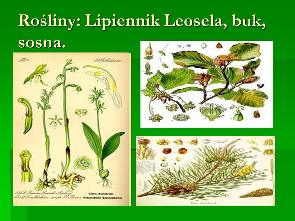 Rośliny: Lipiennik Leosela, buk, sosna.