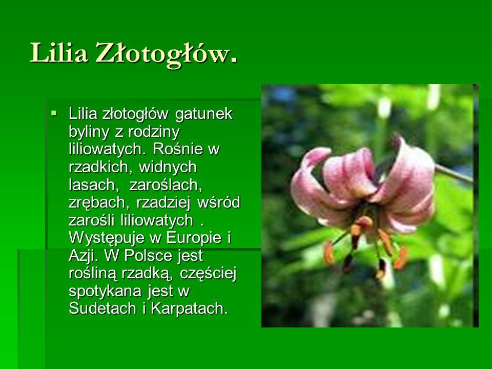 Lilia Złotogłów.