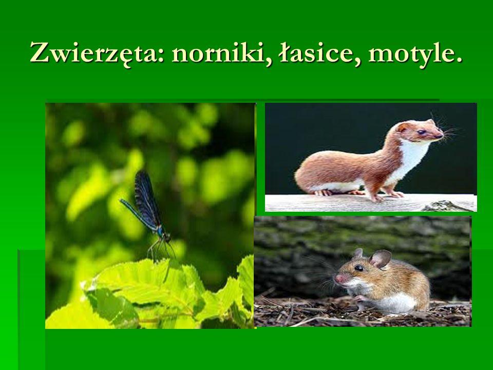 Zwierzęta: norniki, łasice, motyle.
