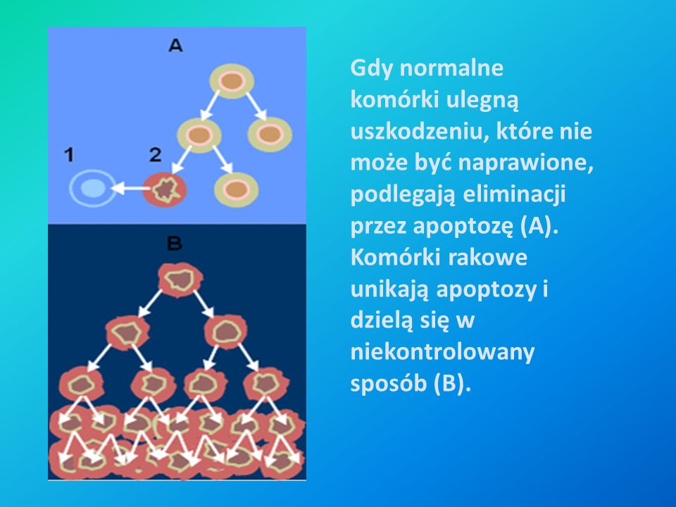 Gdy normalne komórki ulegną uszkodzeniu, które nie może być naprawione, podlegają eliminacji przez apoptozę (A).
