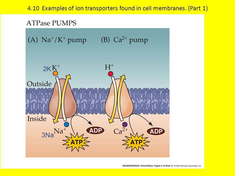 4.10 Examples of ion transporters found in cell membranes. (Part 1)