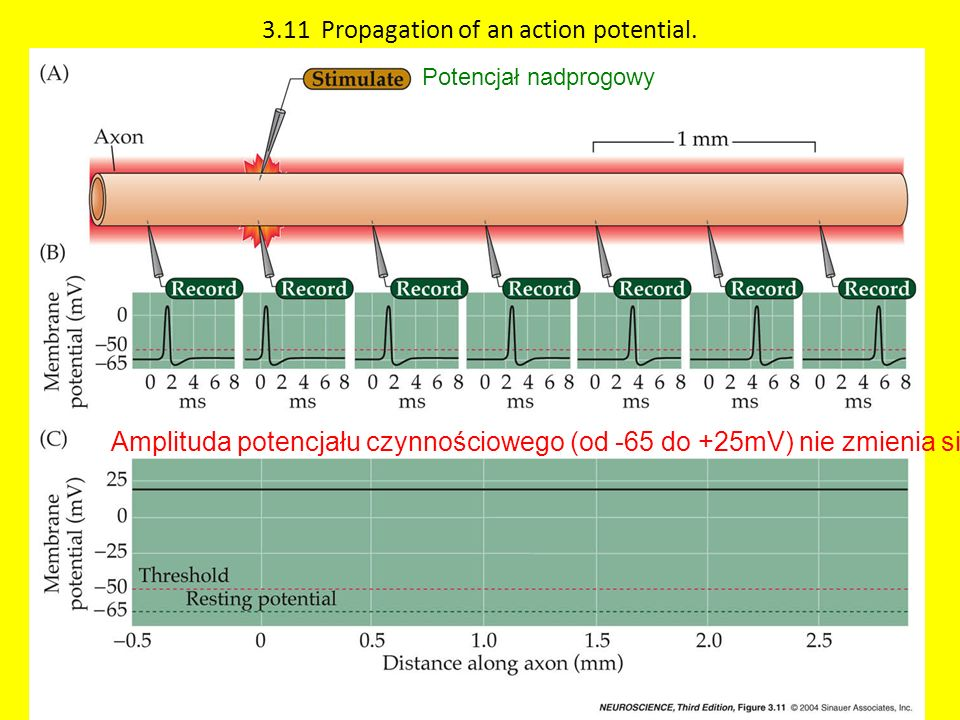 3.11 Propagation of an action potential.