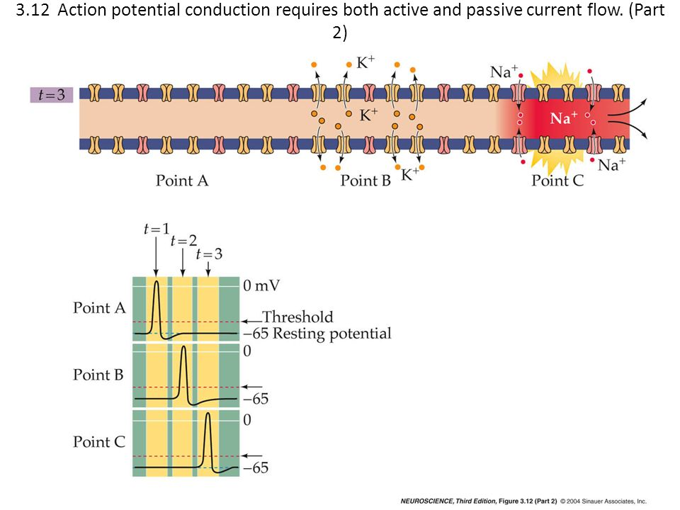 3.12 Action potential conduction requires both active and passive current flow. (Part 2)