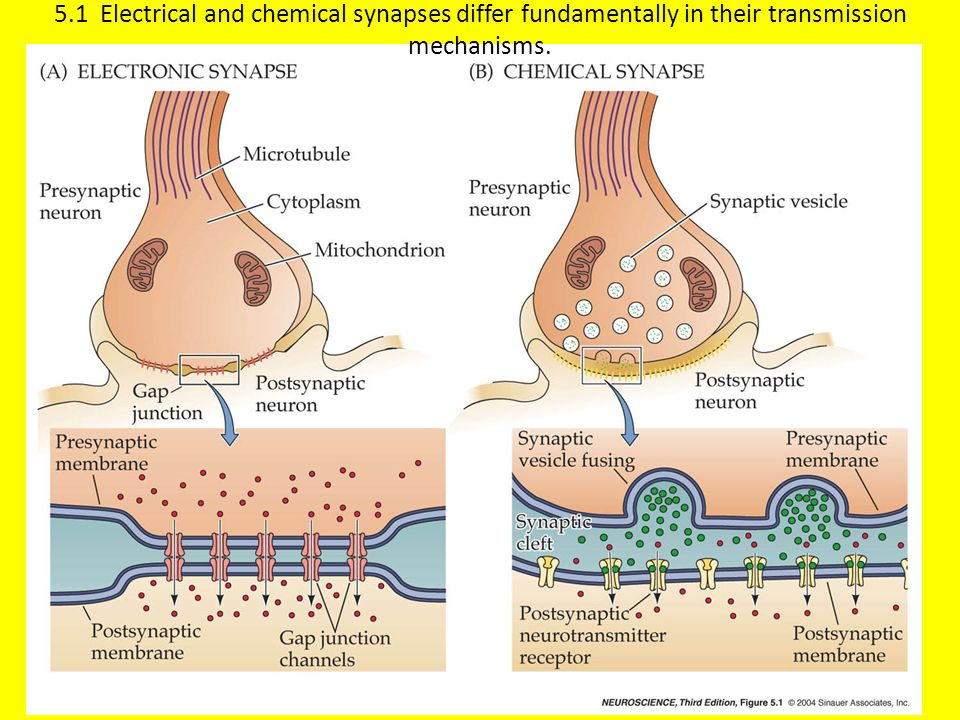 5.1 Electrical and chemical synapses differ fundamentally in their transmission mechanisms.