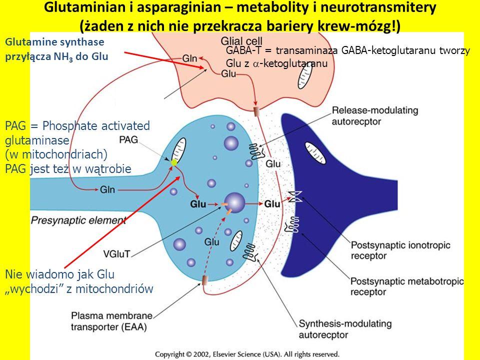 Glutamine synthase przyłącza NH3 do Glu